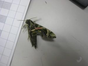 粉綠白腰天蛾